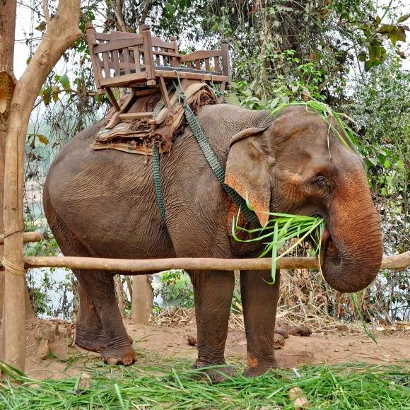elephants d'asie,luang prabang,laos